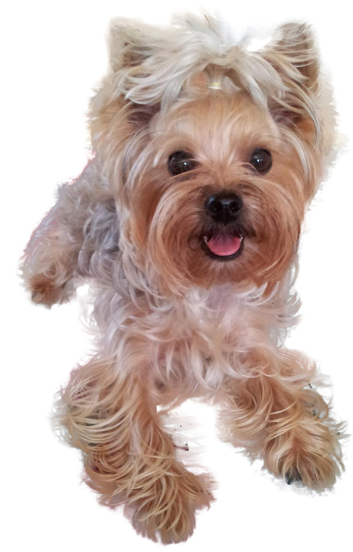 Yorkshire Terrier Mimzy